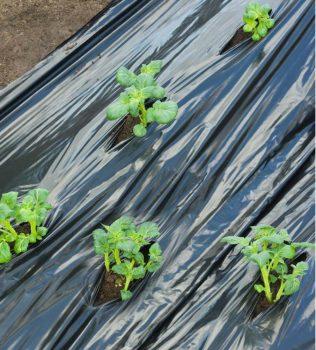Takarófólia burgonyához, fekete 0,95mx10m, előre lyukasztott.