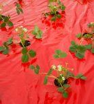 Kertészeti fóliák, eperfólia, talajtakaró fólia